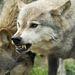Maga Shaun Ellis is azt nyilatkozza, hogy néha veszélyesek tudnak lenni a farkasok az emberre, még akkor is, ha falkatagnak tekintik