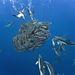 Atlanti-óceán: nincs könnyű napja a makréláknak.