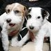 Madison és Pepper, a Westminster Kennel Club százharmincadik kutyakiállításának sajtótájékoztatóján.