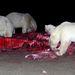 Katovik, Alaszka, jegesmedvék.
