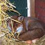 Így néz ki a lusta róka, ha rajtakapják, amint a tojásokon üldögél.