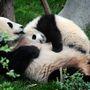 A panda pedig Kínában játszik kicsinyével.