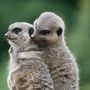 A rókamanguszták egy állatkertben ölelgetik egymást.