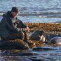 A Falkland-szigeteken, fókákkal