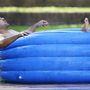 Így fürdőznek a Parramatta Eels játékosai