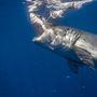 A cápa lecsap a csalira