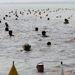 Résztvevők úsznak a vízben a 30. Balaton-átúszáson Révfülöp-Balatonboglár között.