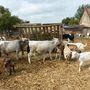 Szürkemarhából egy tehén és egy bika él itt