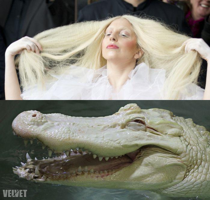 Gaga, és egy névtelen, albínó wallaby