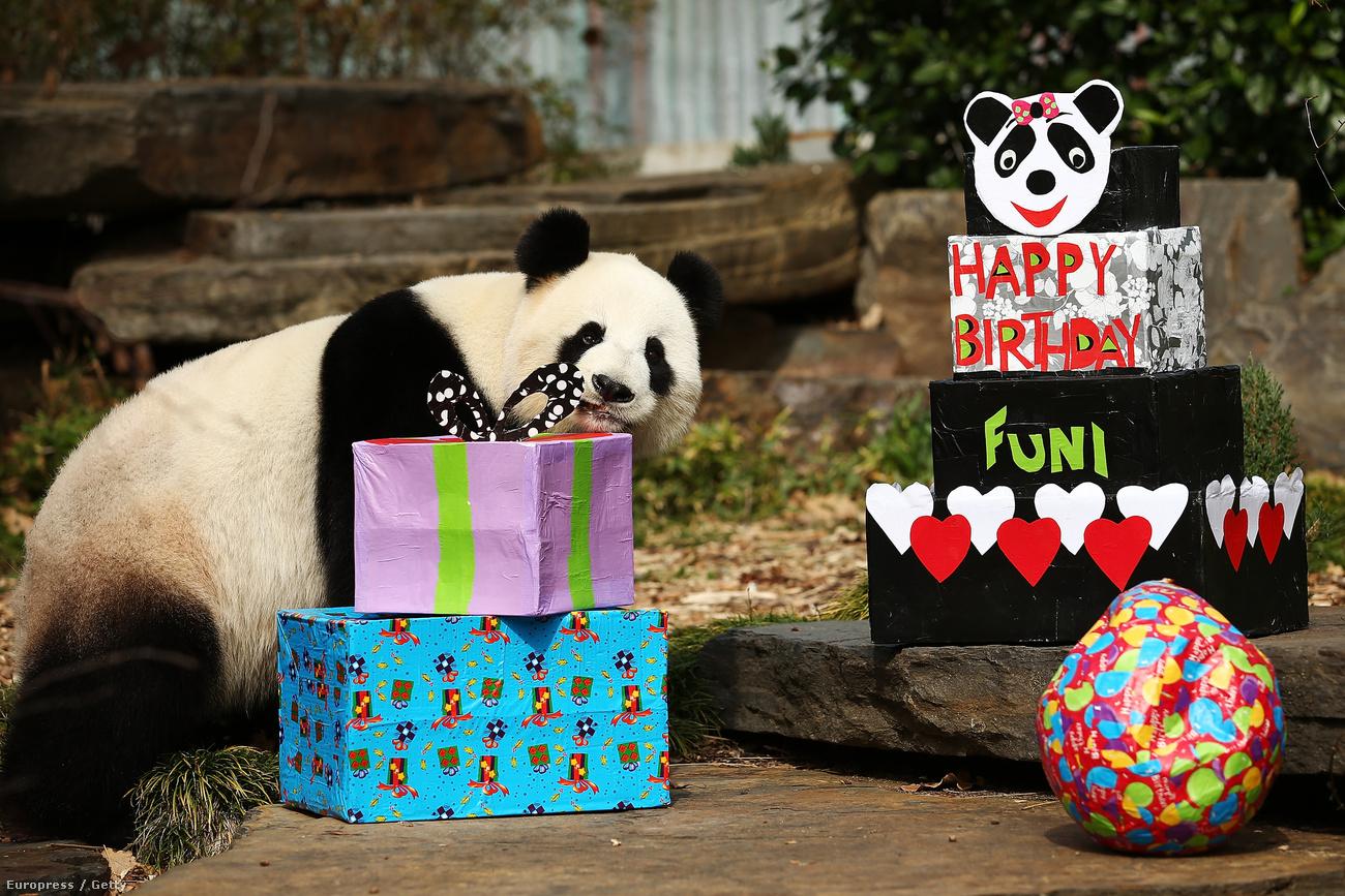 pandás szülinapi képeslap Velvet   Élet   Annyira cuki a szülinapi ajándékait bontogató  pandás szülinapi képeslap