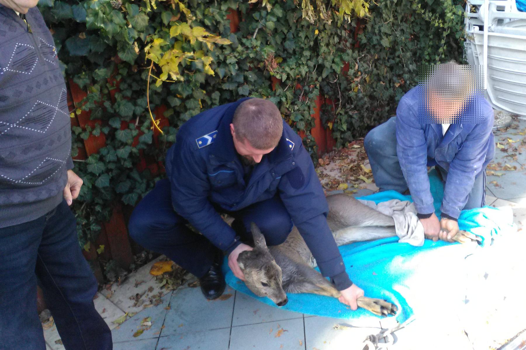 A vemhes őzsutát épségben húzták a partra. Az állatot a vadászok később szabadon engedték.