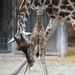 Ez a schönbrunni állatkert kiszsiráfja, ilyen érkezik hozzánk hamarosan (Fotó: Tiergarten Schönbrunn/Norbert Potensky)
