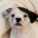 Egy si-cu és egy francia bulldog szerelemgyereke