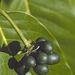És a három legszívatósabb ötlet - bár ezek már nem sztárok - : Ilang (csak így, nem ilang-ilangként, mint a névadó növény, amelyet képünkön láthat), Kandida és Orália